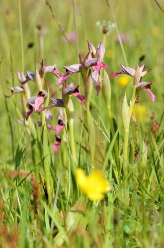 orchis-a-fleurs-laches-bassin-darcachon-3
