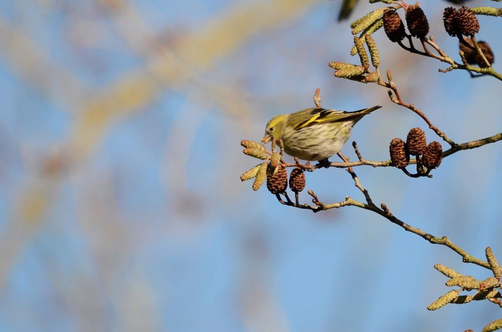 Le Tarin des aulnes dans son arbre préféré